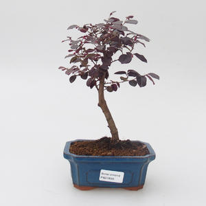 Izbová bonsai - Loropelatum chinensis
