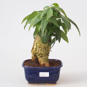 Izbová bonsai - Pachira vodné