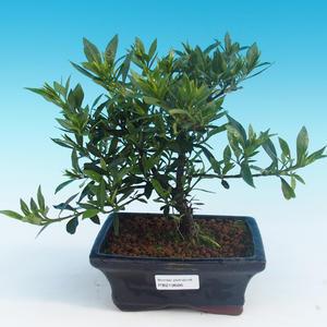 Izbová bonsai - Gardenia jasminoides-Gardenie