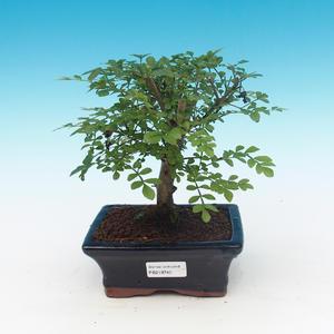 Pokojová bonsai - Fraxinus uhdeii - pokojový Jasan