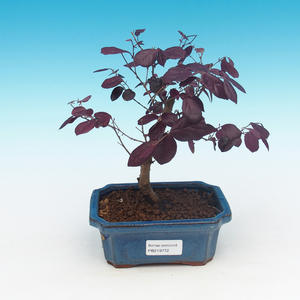 Pokojová bonsai - Loropelatum chinensis