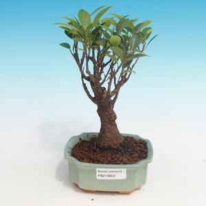 Izbová bonsai - Ficus retusa - malolistá fikus