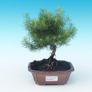 Izbová bonsai-Pinus halepensis-Borovica alepská
