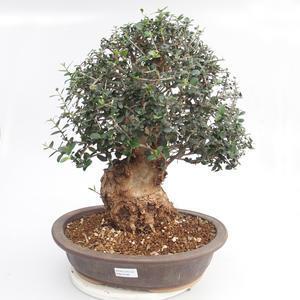 Pokojová bonsai - Olea europaea sylvestris -Oliva evropská drobnolistá