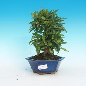 Izbová bonsai-Punic granatum-Granátové jablko