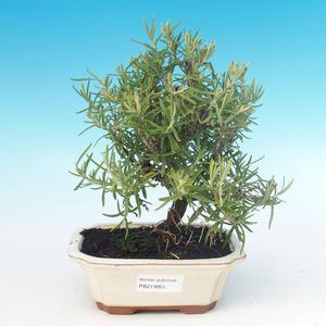 Pokojová bonsai - Rozmarýn lékařský-Rosmarinus officinalis