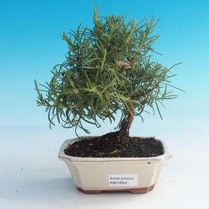 Izbová bonsai - Rozmarín lekársky-Rosmarinus officinalis