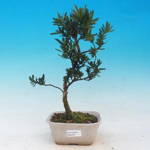 Izbová bonsai - Podocarpus - Kamenný tis