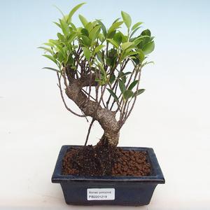 Izbová bonsai - Ficus kimmen - malolistá fikus PB2191219