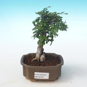 Pokojová bonsai-Ulmus Parvifolia-Malolistý jilm PB2191279