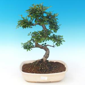 Pokojová bonsai - Ulmus parvifolia - Malolistý jilm PB2191289