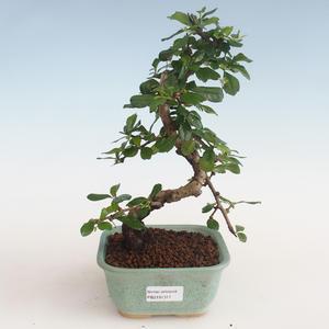 Pokojová bonsai - Carmona macrophylla - Čaj fuki PB2191311