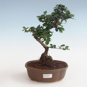 Pokojová bonsai - Carmona macrophylla - Čaj fuki PB2191328