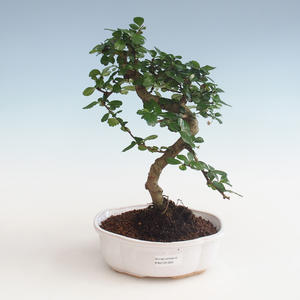 Pokojová bonsai - Carmona macrophylla - Čaj fuki PB2191329