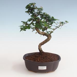 Pokojová bonsai - Carmona macrophylla - Čaj fuki PB2191331
