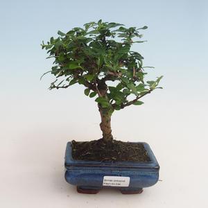 Pokojová bonsai - Carmona macrophylla - Čaj fuki 412-PB2191336