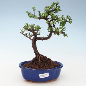 Pokojová bonsai - Portulakaria Afra - Tlustice 414-PB2191351