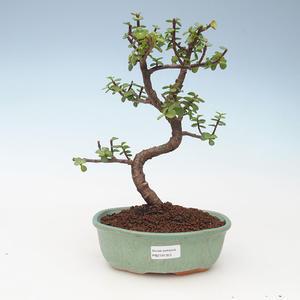 Pokojová bonsai - Portulakaria Afra - Tlustice 414-PB2191353