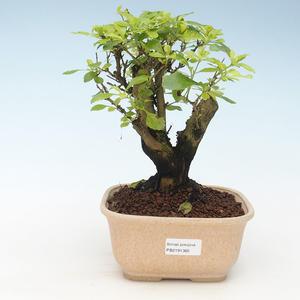 Pokojová bonsai - Duranta erecta Aurea 414-PB2191365