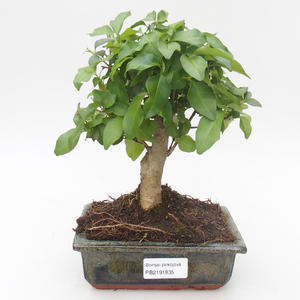 Pokojová bonsai - Duranta erecta Aurea 414-PB2191366