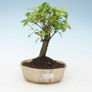 Pokojová bonsai - Duranta erecta Aurea 414-PB2191368