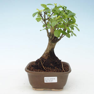 Pokojová bonsai - Duranta erecta Aurea 414-PB2191371