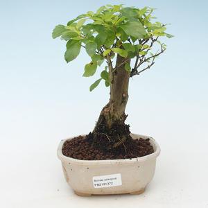 Pokojová bonsai - Duranta erecta Aurea 414-PB2191372
