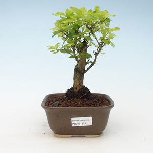 Pokojová bonsai - Duranta erecta Aurea 414-PB2191373
