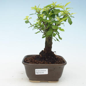 Pokojová bonsai - Duranta erecta Aurea 414-PB2191374