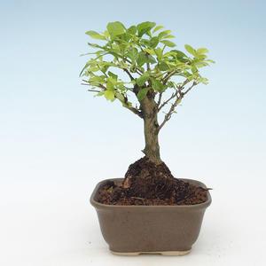 Pokojová bonsai - Duranta erecta Aurea 414-PB2191377