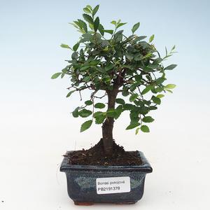 Pokojová bonsai- Ulmus Parvifolia-Malolistý jilm 414-PB2191378