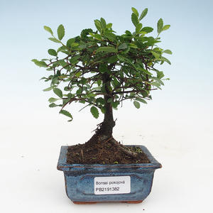 Pokojová bonsai- Ulmus Parvifolia-Malolistý jilm 414-PB2191382