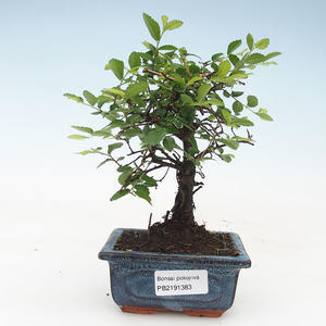 Pokojová bonsai- Ulmus Parvifolia-Malolistý jilm 414-PB2191383