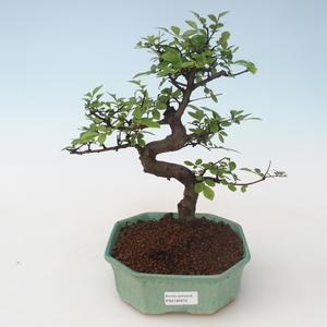 Pokojová bonsai - Ulmus parvifolia - Malolistý jilm PB2191672