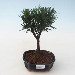 Pokojová bonsai - Podocarpus - Kamenný tis PB2191712