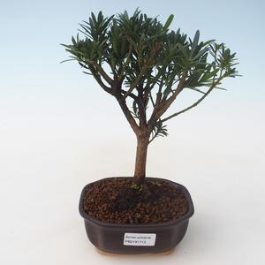 Pokojová bonsai - Podocarpus - Kamenný tis PB2191713