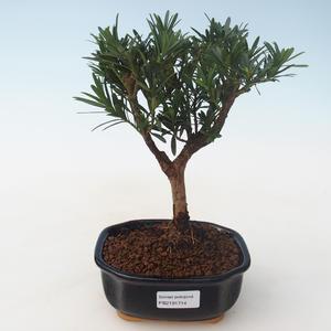 Pokojová bonsai - Podocarpus - Kamenný tis PB2191714