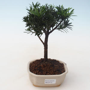 Pokojová bonsai - Podocarpus - Kamenný tis PB2191715