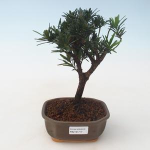 Pokojová bonsai - Podocarpus - Kamenný tis PB2191717