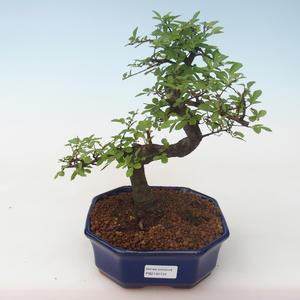 Pokojová bonsai - Ulmus parvifolia - Malolistý jilm PB2191731