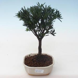 Pokojová bonsai - Podocarpus - Kamenný tis PB2191762