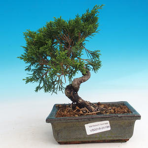 Vonkajšie bonsai - Juniperus chinensis Itoigava-Jalovec čínsky