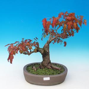 Venkovní bonsai - Acer ginala - Javor ohnivý