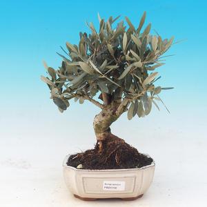 Izbová bonsai - Olea europaea - Oliva európska