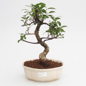 Pokojová bonsai - Ficus retusa -  malolistý fíkus