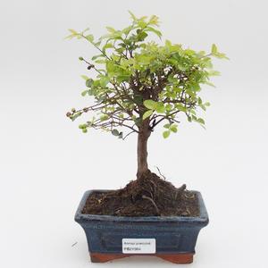Izbová bonsai - Sagerécie thea - Sagerécie thea