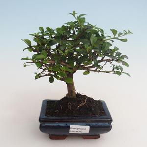 Pokojová bonsai - Carmona macrophylla - Čaj fuki 412-PB2191333
