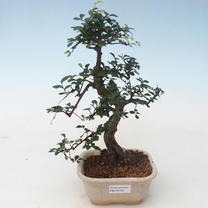 Pokojová bonsai - Ulmus parvifolia - Malolistý jilm PB2191753