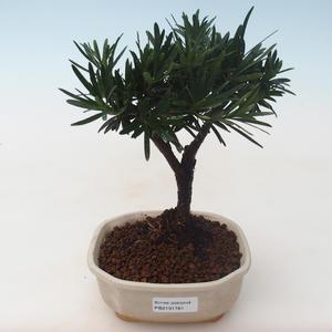 Pokojová bonsai - Podocarpus - Kamenný tis PB2191761