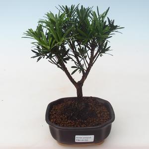 Pokojová bonsai - Podocarpus - Kamenný tis PB2191763